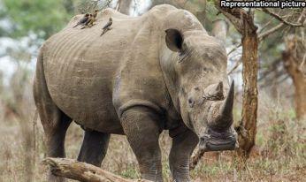 rhino-dead